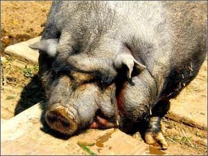 swinski-ryj