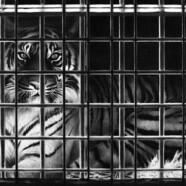 Jak tygrys w klatce