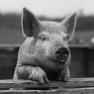 Nie każdy jest świnia