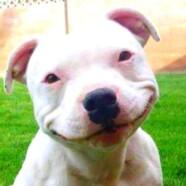 Pitbull eksperymentalny film kukiełkowy